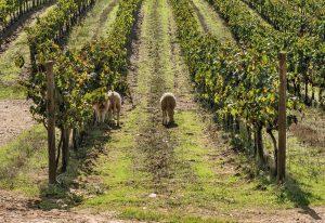 As ovelhas permitem o controlo natural de infestantes e a fertilização dos solos