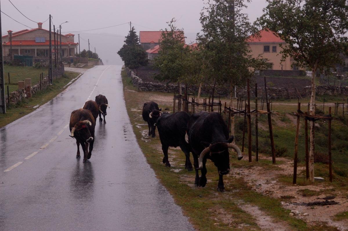 Vacas maronesas na estrada